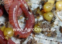 Коконы калифорнийского червя