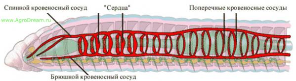 Krovenosnaya-sistema-chervya