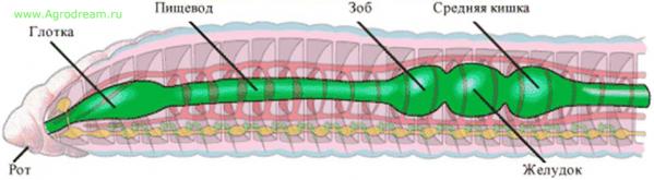 Пищеварительная система червя
