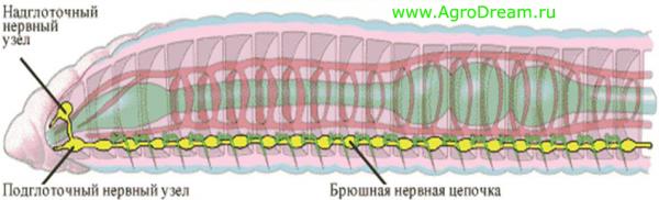Нервная система червя